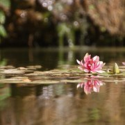Inner peace water Lily flower